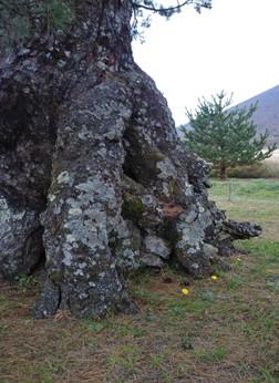 三瓶山・定めの松とタンポポ